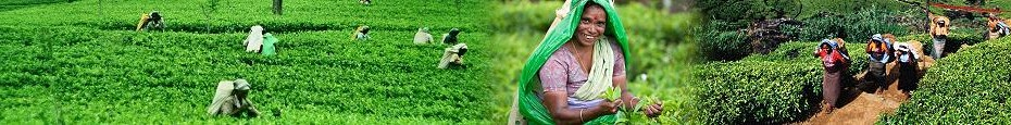 Visit sri lanka tea plantation